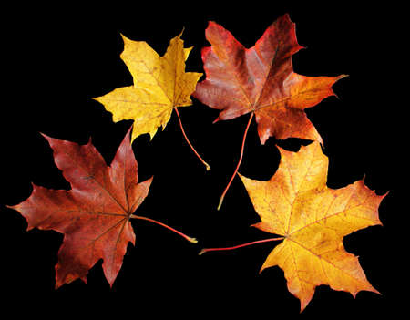 Autumn fallen maple leaves isolated on black background