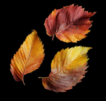Big autumn fallen leaves isolated on black background