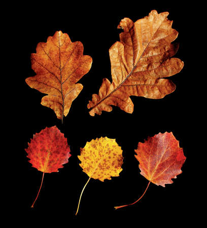 Autumn oak and aspen leaves isolated on black background