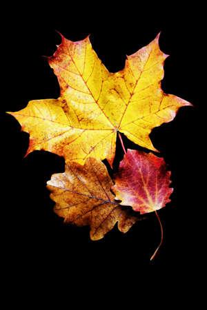 Autumn oak maple and aspen leaves isolated on black background
