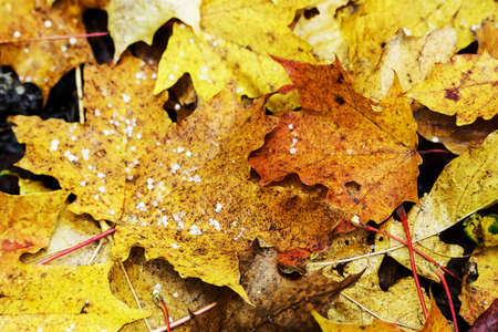 Yellow and brown dry fallen leaves autumn carpet with hail pieces background Stock Photo