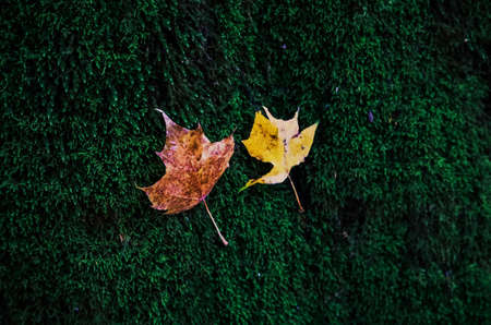 Two small yellow and brown autumn maple leaves on green moss textured background with bokeh