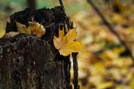 Yellow autumn fallen maple leaf stuck on tree stump on bokeh background