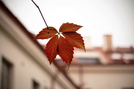 Red autumn wild grape leaf on blurred building roof background
