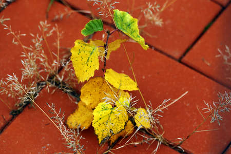 Young tree spring with yellow leaves on red tiled pavement in autumn