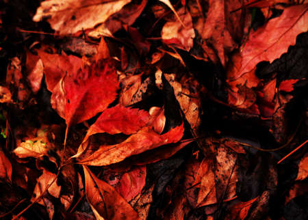 Red vibrant red and black autumn fallen leaves carpet background Stock Photo