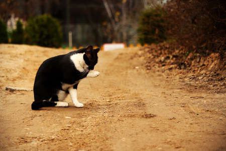 Black and white cat washing on countryside sand road in autumn