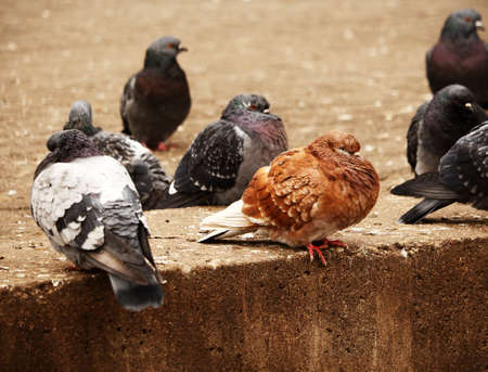 Brown pigeon sitting among black and gray pigeons on brown pavement border Stock Photo