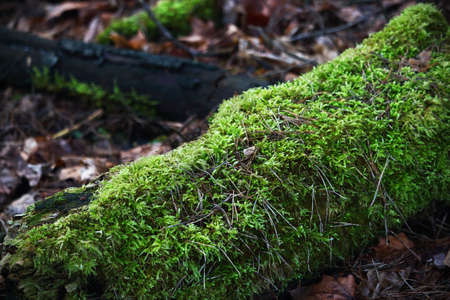 Old tree trunk with green moss on dull dry leaves ground in forest