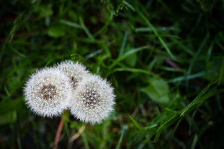 Three white fluffy dandelions on green grass background