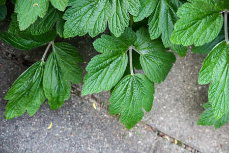 Green raspberry bush leaves on pavement background