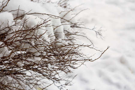 Dark hedge branches without leaves on white snow background in winter
