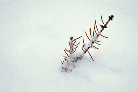 Pine tree branch sticking out on snow in winter