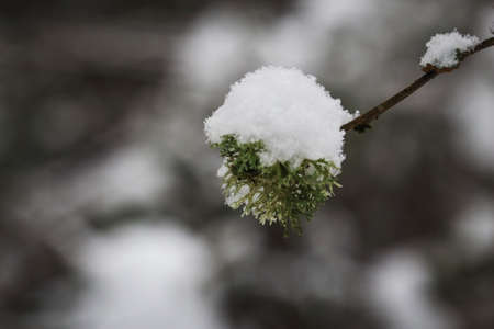 Ball of moss growing on branch with snow hat in winter dark bokeh background