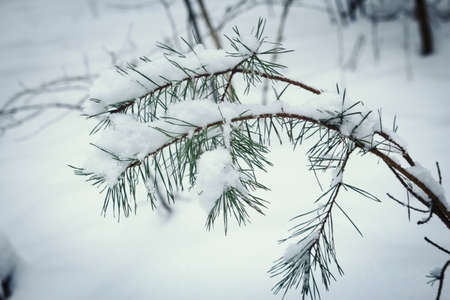 Pine branch with needles hanging above snow in winter