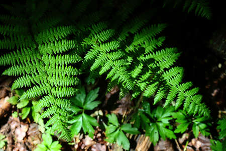 Green fern bright sunny background with dark shadow 版權商用圖片