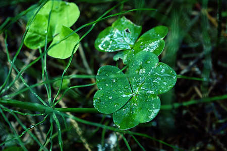 Wet clover shamrock growing in green grass 版權商用圖片