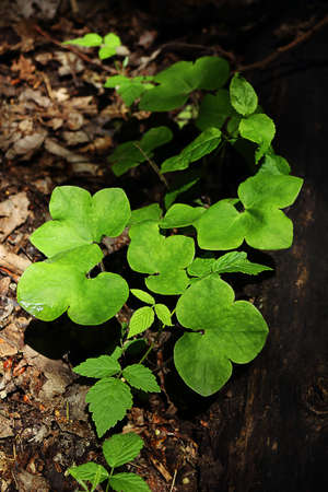 Green buttercup leaves over old brown dry leaves in woods 版權商用圖片