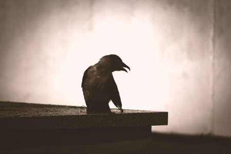 Black bird sitting on pavement corner with open mouth and wing in sepia 版權商用圖片