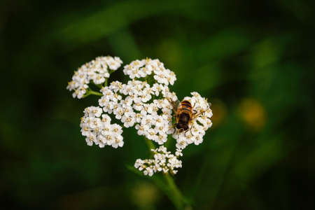 Bee on bunch of white tiny flowers on dark green background 版權商用圖片