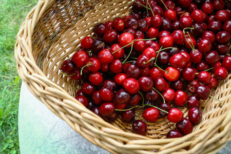 Red sweet cherry harvest in basket standing on table over green grass