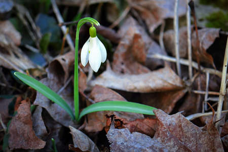 White snowdrop standing tall in brown dry last falls leaves