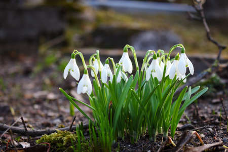 White snowdrops growing in brown dry soil with dry sticks and leaves