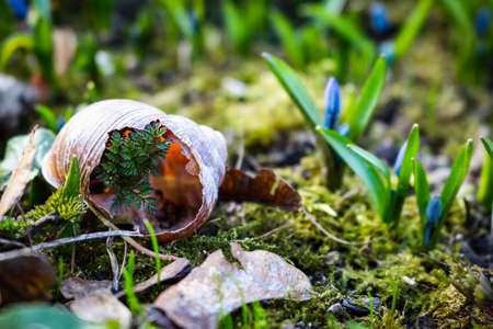 Blue tiny snowdrop flowers growing on moss with broken snail shell with grass growing through