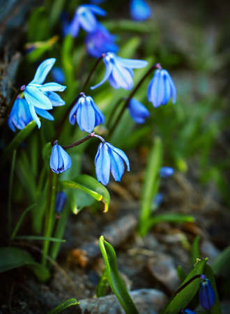 Blue snowdrops growing on brown dry leaves with grass