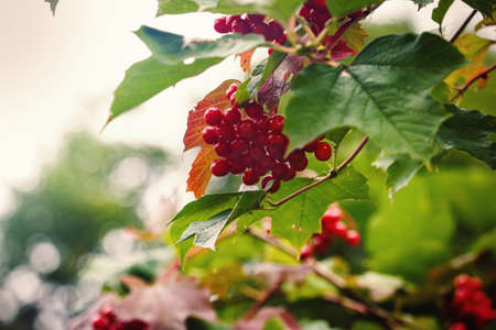 Red berries hanging on branch in green leaves with blurry sky background