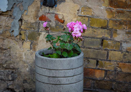 Pink pelargonia flower in concrete pot near red brick wall building 版權商用圖片