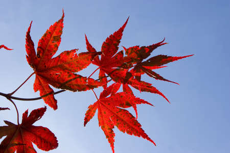 details of acer palmatum bloodgood leaves against fall blue sky photo