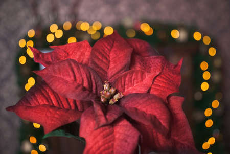 gold ornaments: Christmas red poinsettia and yellow garland background Stock Photo