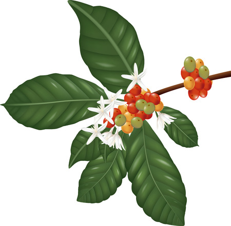 botanical: Coffe  species branch with coffee berries and blossom