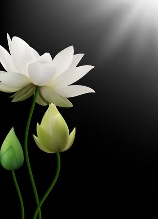 dreamlike: Vector illustration of White Lotus flowers with rays on black background Illustration