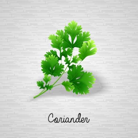 coriander: Fresh green leaves coriander