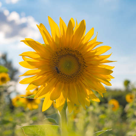 A selective shot of a honey bee on young sunflower backlighted by the sun Stock Photo