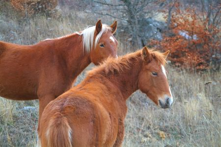 Two chestnut horses standing in the forest Stock Photo - 4031876