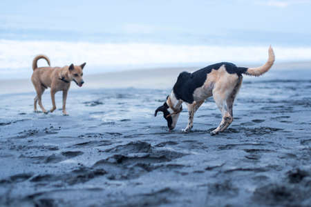 dogs playing: Dogs playing on the beach in Varkala India Stock Photo