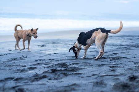 dogs playing: Perros que juegan en la playa en Varkala India