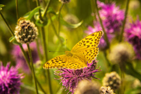 metamorphosis: the yellow butterfly sitting on pink flower Stock Photo