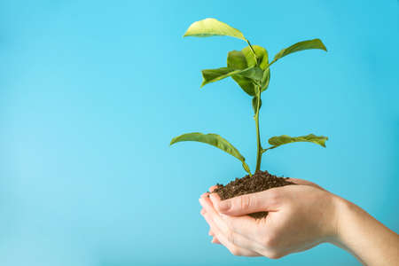 Sprout of new green tree in soil in human hands on blue background. The concept of environmental protection. Caring for trees on earth day
