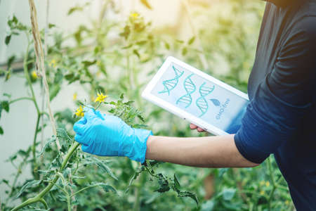Woman scientist genetic engineer with a tablet testing the plant for the presence of genetic modification. GMO-free products and organisms