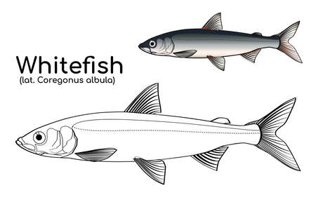 Coloring book with a colored example of Northern fish vendace. Vector whitefish of Siberia in lines and in color. Иллюстрация