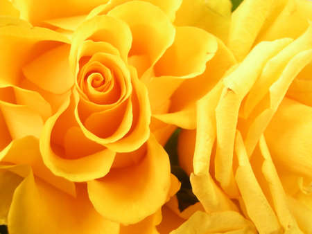 yellow roses: Yellow roses Stock Photo