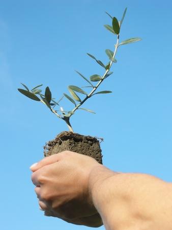 Olive trees Stock Photo - 11510128