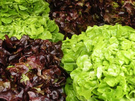 Lettuce plants photo