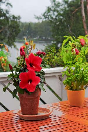 Hibiscus on balcony table photo