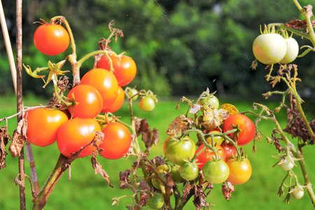 balcony tomatoes photo