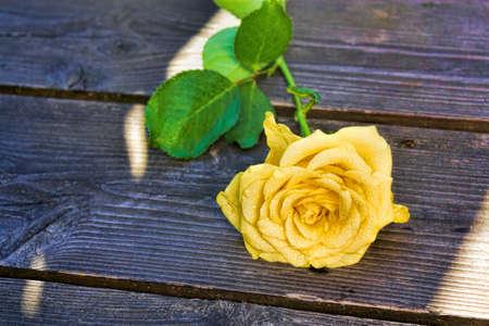 yellow: Yellow Rose